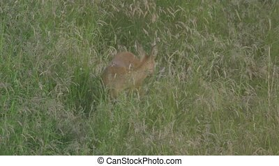 roe deer on a meadow