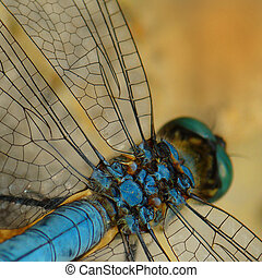 dragonfly blue - Blue dragonfly close up a square