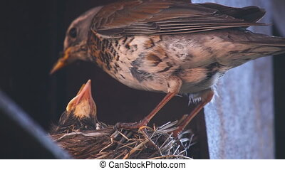 Female Fieldfare on the nest - Fieldfare Thrush female and...