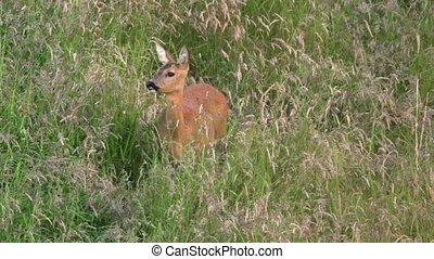 roe deer on a meadow