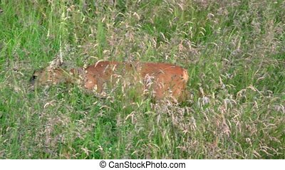 roe deer fawn on a meadow - roe deer and fawn on a meadow