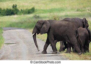 African Elephant in Queen Elizabeth National Park, Uganda