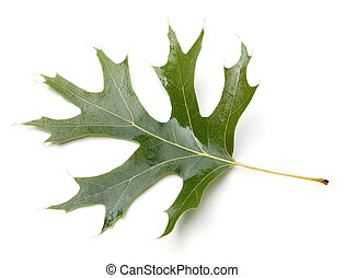 Oak Leaf - Scarlet Oak leaf (Quercus coccinea) isolated on...
