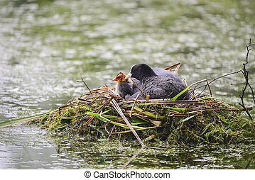 Coot rallidae fulica water bird on nest with chicks in...