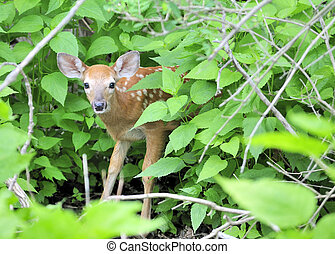 Whitetail Deer Fawn - A whitetail deer fawn standing in a...