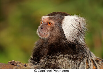 Marmoset monkey portrait - Portrait of a marmoset monkey...