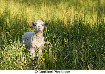 newborn lamb standing on meadow - closeup of newborn lamb...