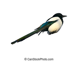 Magpie Pica Pica isolated on white background