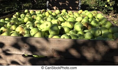 boxes full of harvested apples in farm orchard fruit tree...