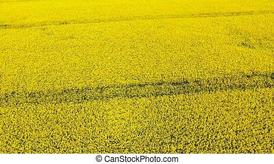 aerial view of rapseed field - aerial view of yellow rapseed...