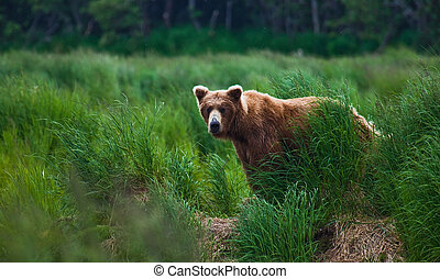 Where are you - Brown bear looking over Brooks Falls at...