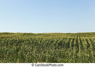 Field of green corn - Agricultural field on which grow green...