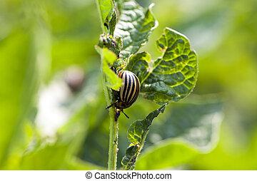 Colorado potato beetle in the field - colorado beetle...