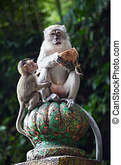 Batu Caves complex - Monkey in Famous Batu Caves shrine near...