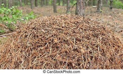 big ant hill in the forest - Stormy life in the big ant hill...