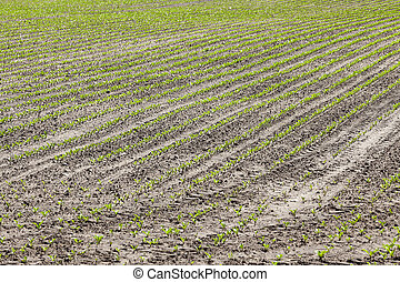 field with beetroot - agricultural field on which to grow...