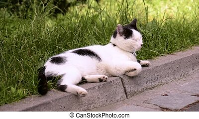 Adult domestic cat - Adult white and black cat lying in the...