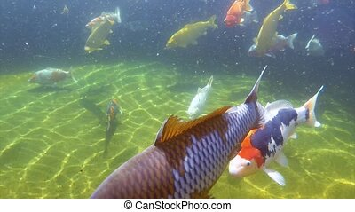 Koi carp under water - Underwater view of Koi fish swimming...