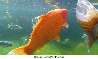 Koi carp under water - Underwater view of Koi fish swimming...