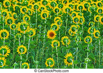 Far Out Sunflower - One of all Sunflowers Grows not Like...