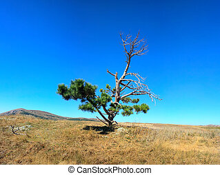 Lonely old half dry pine on plateau 1 Dry mountain meadows...