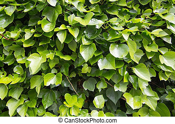 Green vine foliage background - Green vine foliage abstract...
