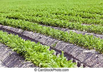 Field with carrot - Agricultural field on which grow green...
