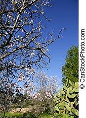 Almond in flower tree and nopal cactus in mediterranean