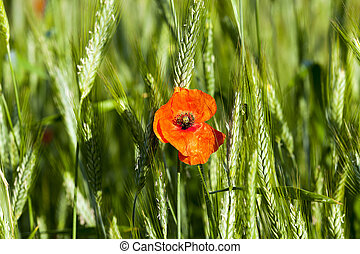 Poppy in the field - a blooming red poppy growing in the...