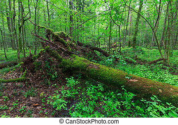 Broken moss wrapped oak lying in old deciduous stand in...