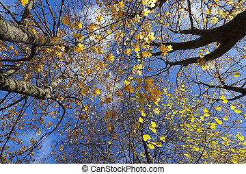 birch tree in autumn - photographed close-up of yellow...