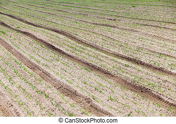 green onion Spring - agricultural field on which grows green...