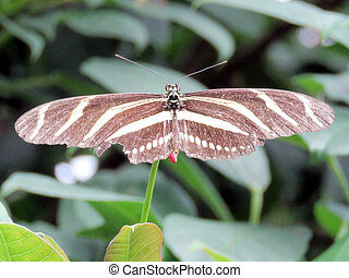 Niagara Zebra Longwing butterfly 2016 - Zebra Longwing...