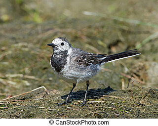 White wagtail Motacilla alba - White wagtail standing on the...