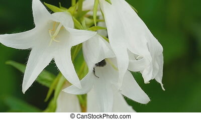 Bumblebee on Campanula flower - Bumblebee on flower of...