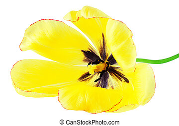 Yellow tulip isolated on white background closeup