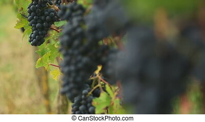 Red grapes bunches - Bunches of red wine grapes hang from a...
