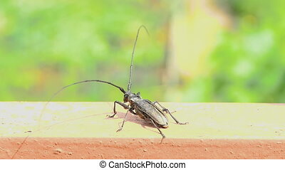 Great capricorn beetle Cerambyx cerdo take-off