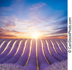 Beautiful landscape of blooming lavender field in sunset....