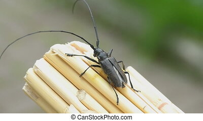 Great capricorn beetle (Cerambyx cerdo) is going to take off