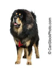 Beautiful big Tibetan mastiff dog - Portrait of big...