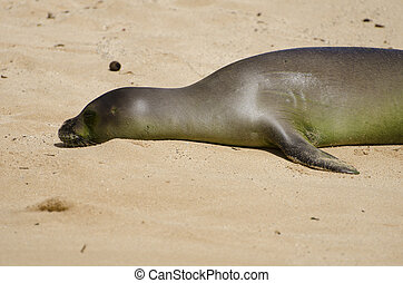 Baby Hawaiian Monk Seal resting on the sand by the beach.