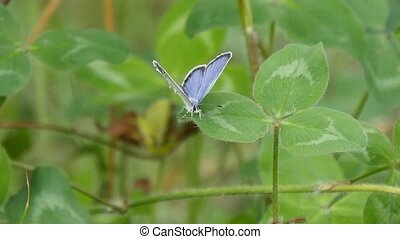 short-tailed blue or tailed Cupid - Tokyo, Japan-July 25,...