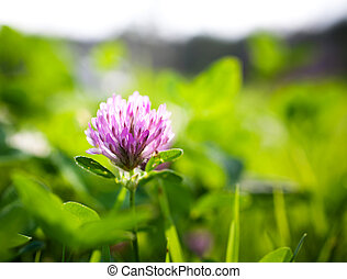 Red clover - Close up of red clover