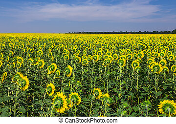 Blooming sunflowers field on a background of blue sky -...