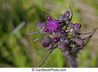 Marsh thistle (Cirsium palustre) photographed at Moelen,...