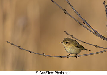 Natural Common chiffchaff - Common chiffchaff (Phylloscopus...