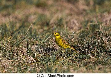 yellowhammer bird Emberiza citrine - yellowhammer bird...