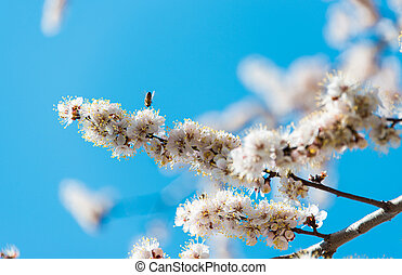 blossoming tree against the blue sky in spring