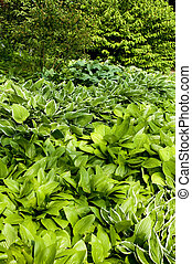 hostas - garden with different varieties of hostas